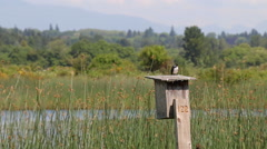 Stock Video Footage of Tree Swallow bird on nesting box