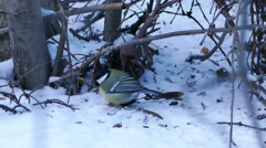 Great Tit Bird (Parus major) Eating in Winter Forest Stock Footage