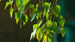 Birch catkin - stock footage