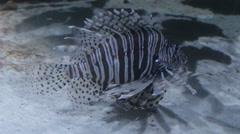 Lion Fish in Aquarium Stock Footage