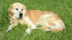Golden retriever dog on green grass - stock footage
