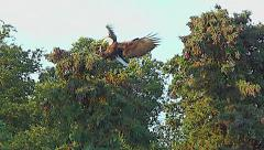 Pan from Brown Bear to Flying Eagle Landing in Tree Stock Footage