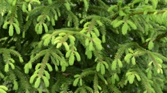 Fir branches background - stock footage