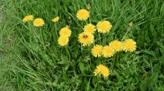 Bumblebee on yellow dandelions - stock footage