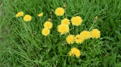 Yellow dandelions cutting by grass trimmer - stock footage