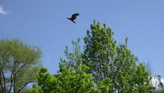 4k Black-chested buzzard-eagle flying over tree tops Stock Footage