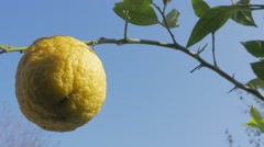 Cultivated lemon fruit tree 4K 3840X2160p UHD video - Lemon fruit cultivated Stock Footage