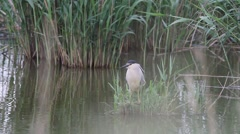 black-crowned night heron in natural habitat / Nycticorax nycticorax - stock footage