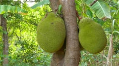 Jackfruit on the Tree, Plantation Stock Footage