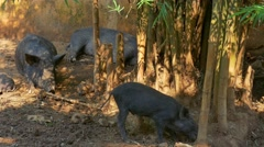 Boars in a Hill Tribe Village, Northern Thailand Stock Footage