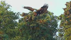 Pan From Brown Bear To Flying Eagle Landing In Tree - Stabilized Stock Footage