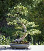Beautiful Elm Bonsai Tree on Display Outside. - stock photo