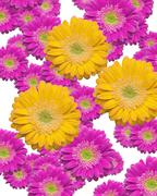 Various Sized and Depth of Falling Magenta and Yellow Gerber Daisies. Stock Photos