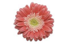 Pink Gerber Daisy Isolated Stock Photos