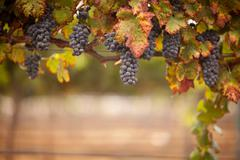 Stock Photo of Lush, Ripe Wine Grapes on the Vine Ready for Harvest.