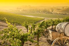 Grape Vineyard with Vintage Barrel Carriage Wagon.. Stock Photos