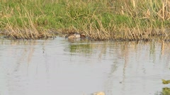 A Garganey that swims on a swamp Stock Footage