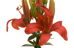 Beautiful Asiatic Lily Bloom - stock photo