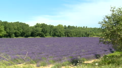 Lavender field surrounded by trees Stock Footage