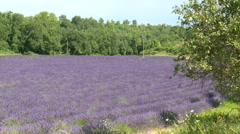Lavender field surrounded by trees, full shot Stock Footage