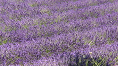 Aligned lavender plants moving in the wind - stock footage