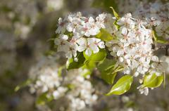 Spring Flowering Tree Blossom - stock photo