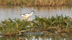 Pied avocet - Recurvirostra avosetta, in natural habitat Stock Footage
