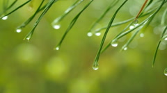 Green pine branch in 4K UHD video. Stock Footage