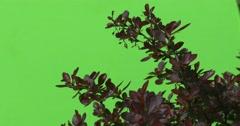 Lush Red, Vinous, Purple Bush is Fluttering on the Wind Stock Footage