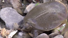 Softshell turtle baby closeup nature animal Stock Footage