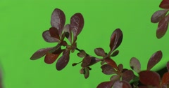 Red, Vinous, Purple Leaves on Plant's Offshoot Stock Footage