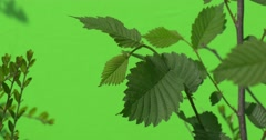 Green Leaves of Bush With Wooden Stalk, Trunk, Small Leaves of Evergreen Bush Stock Footage