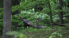Wild tom turkey gobbles in the forest Stock Footage