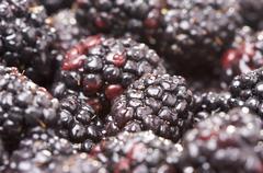 Macro Blackberries with Water Drops Stock Photos