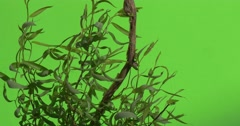 Young Willow's Trunk And Offshoots With Leaves, Wavering, Real Time Stock Footage
