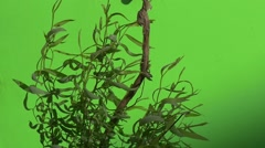 Young Willow's Trunk And Offshoots With Leaves, Wavering, Slow Motion Stock Footage
