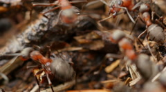 Ants working in ant hill. 4K UHD. Stock Footage
