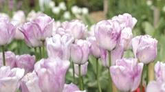 Summer flower Tulips in the garden Stock Footage