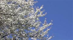Bloom tree sky blue Stock Footage