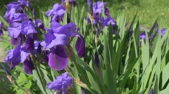 Violet Irises, Flowerbed on The Meadow, Single Blossom is Swaying,Slow Motion Stock Footage