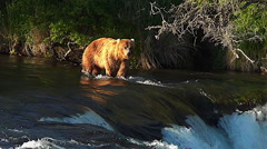 Brown Bear Walking Above Falls in Evening Light -- Color & Sharpness added - stock footage