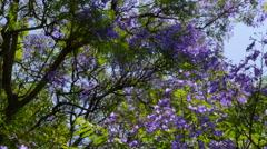 Blue Jacaranda Tree In Blossom During Springtime Stock Footage