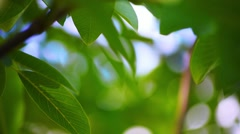 Green Leaves of Walnut Tree Stock Footage