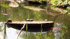 Turtles on the river Stock Footage