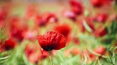 Lone Poppy Flower Close Up Stock Footage
