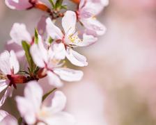 Stock Photo of Prunus serrulata or Japanese Cherry in full bloom