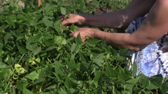 Farmer woman hands picking snap beans in farm Stock Footage