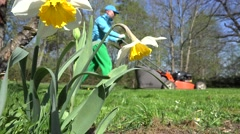 Man gardening with lawn mower and narcissus daffodil flower. 4K - stock footage