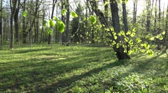 Linden tree leaves and buds move in wind in spring. 4K Stock Footage
