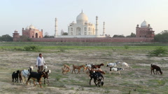 Man implying cattle at field, with Taj Mahal in background. - stock footage